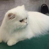 стрижка пушистых кошек