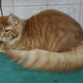 стрижка кошек на Беломорской