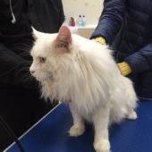 стрижка кошек (до процедуры)