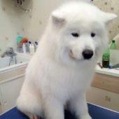 вычес, мытье собак крупных пород (сибирский самоед после процедур)