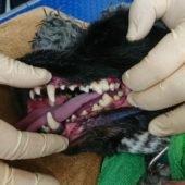 чистка зубного камня у собак
