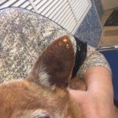 наклеивание страз собакам на ушки