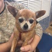 Стразы на ушки собакам чихуахуа