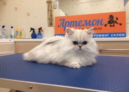 """стрижка персидских кошек в груминг салоне """"Артемон"""""""