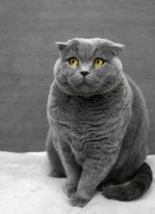 уход за котом британцем