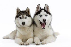 груминг собак хаски