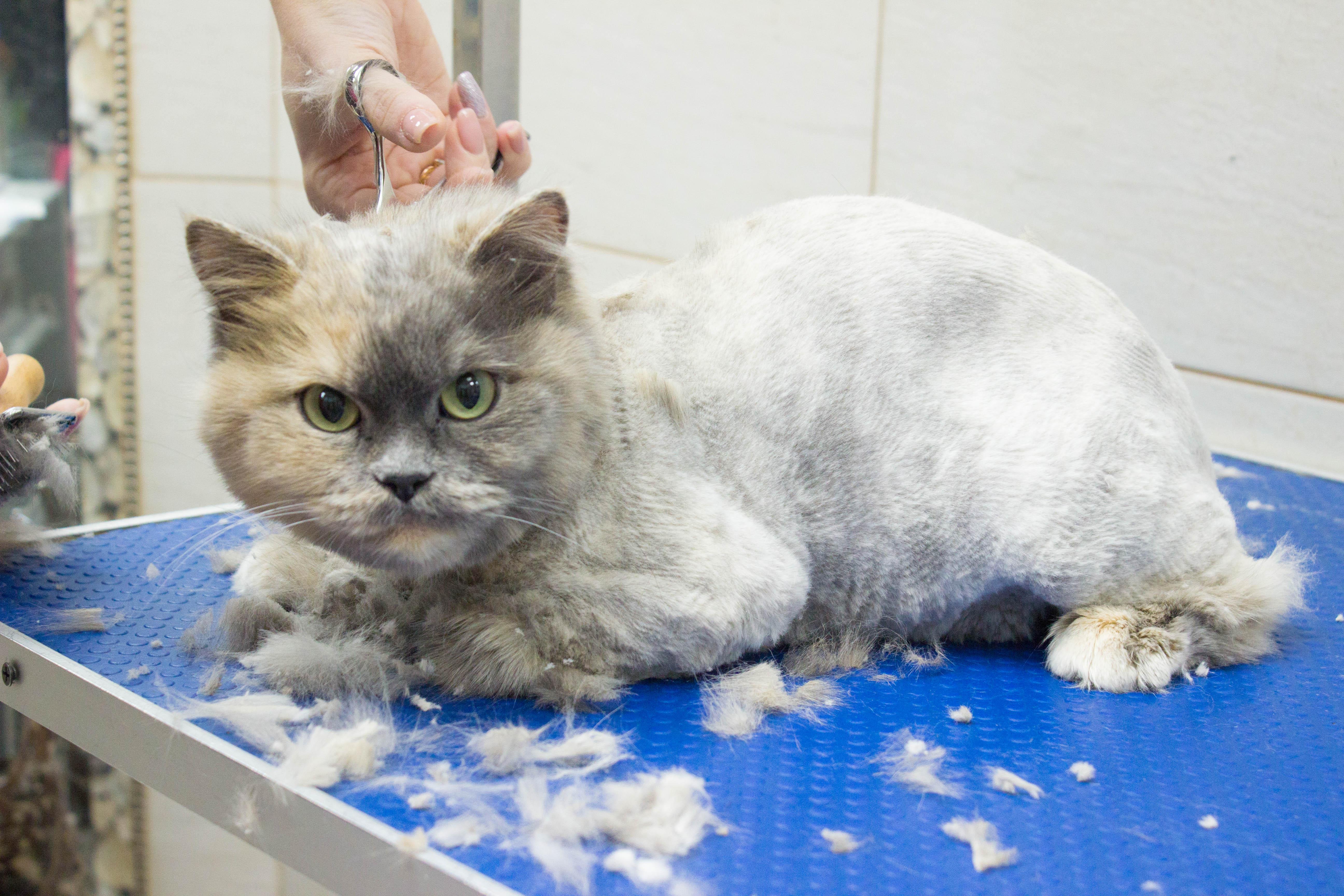 стрижка персидской кошки