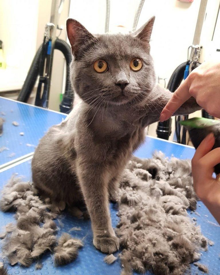 стрижка британской кошки фото