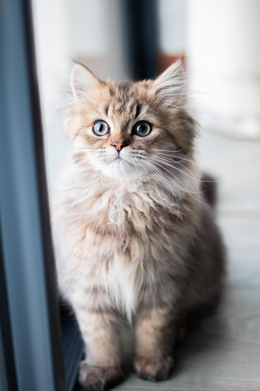 груминг котят в салоне «Артемон»