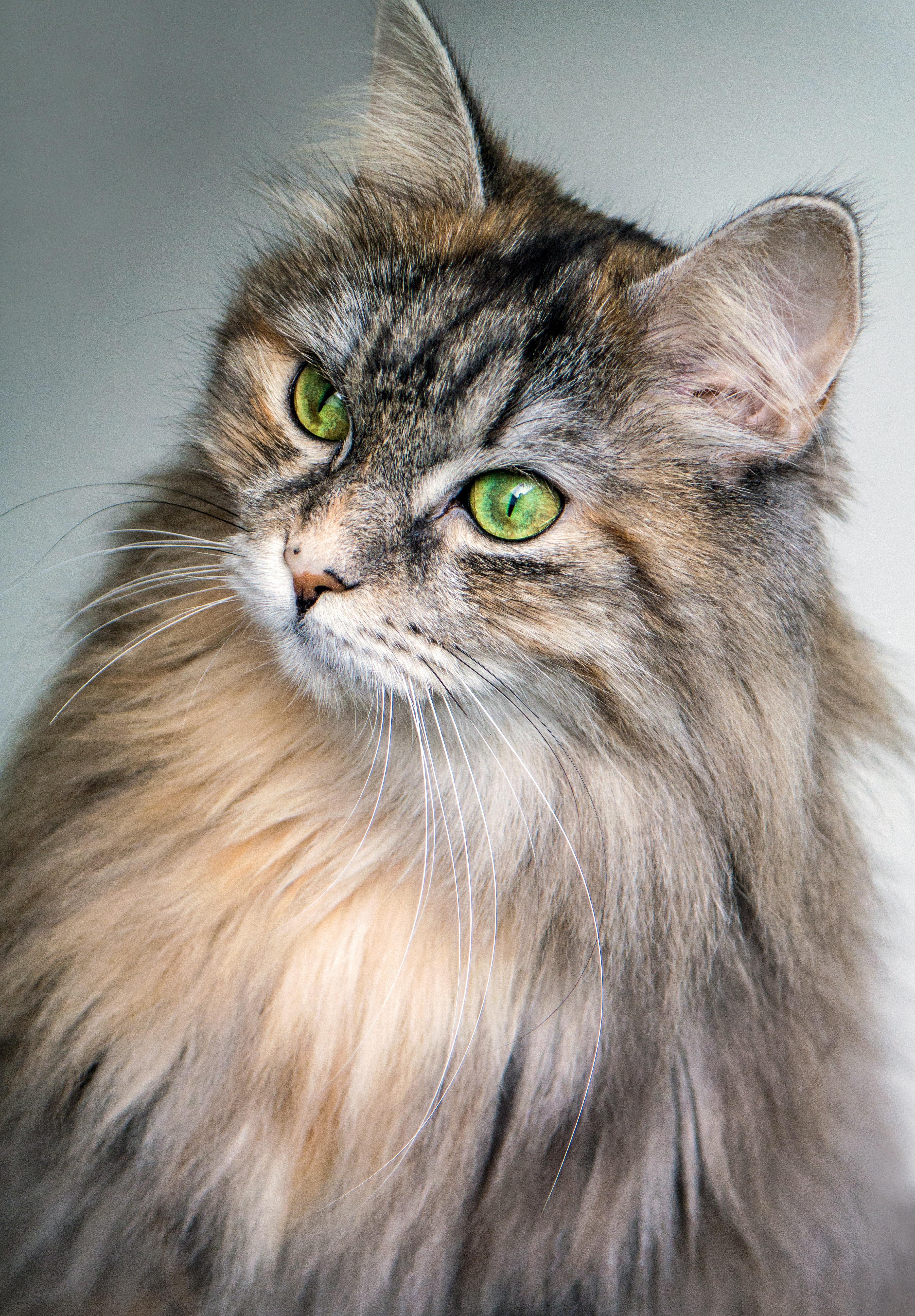 груминг сибирской кошки в салоне «Артемон»
