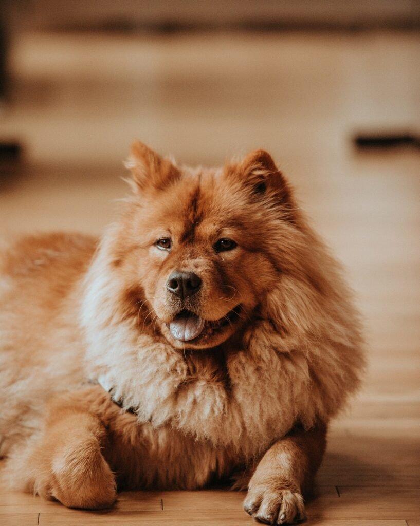 стрижка крупной собаки Чау-Чау