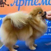 Стрижка собаки породы померанский шпиц