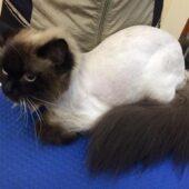 как вычесать колтуны у кошки