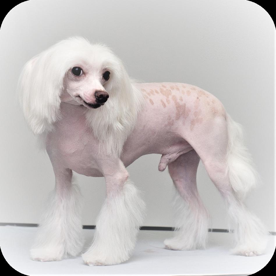 китайская хохлатая собака пуховая стрижка «Под пуделя»