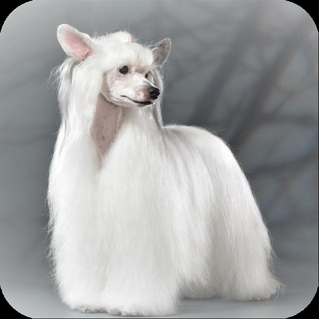 китайская хохлатая собака пуховая стрижка «Юбочка»