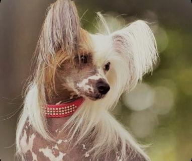 груминг китайской хохлатой собаки