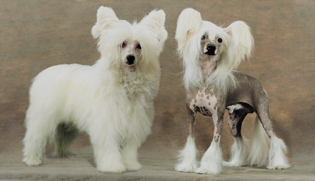груминг китайских хохлатых собак