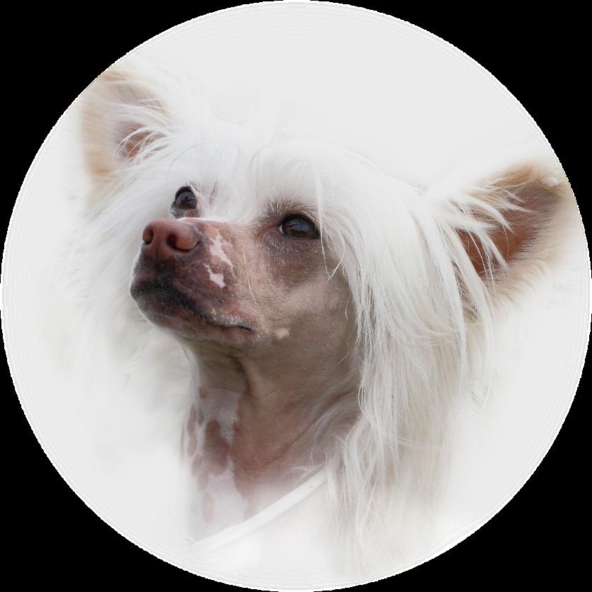 стрижка голой хохлатой собаки