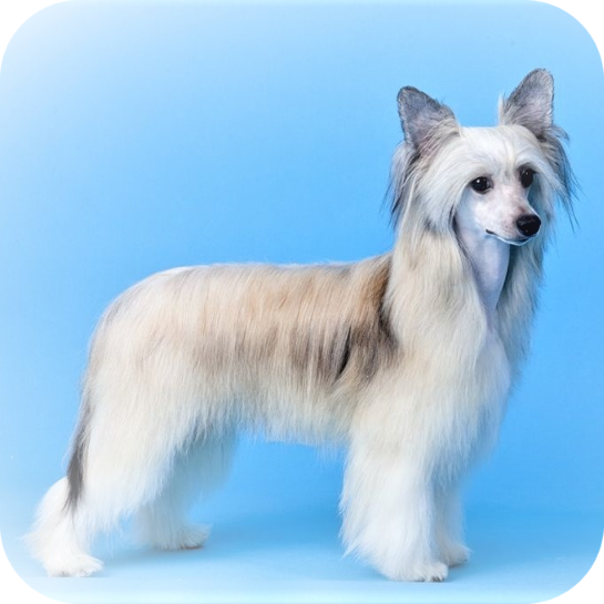 китайская хохлатая собака пуховая породная стрижка