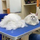 стрижка и груминг кошек